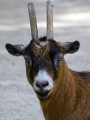 Memphis Zoo 08-31-2016 - Nigerian Dwarf Goat 3