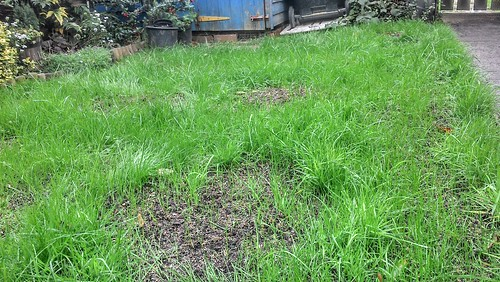 Re-seeded, top-dressed lawn