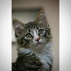 #котенок #cat #мейнкун