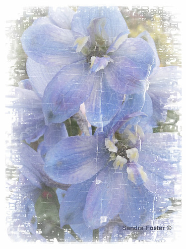 Soft Blue Delphinium Blossoms Closeup
