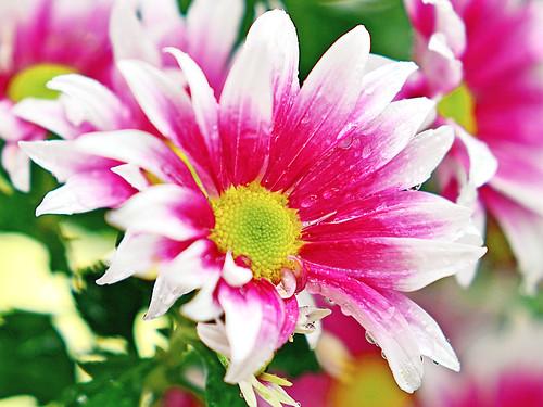 Bicolor Florists' Daisy in The Rain / 雨に濡れる洋菊(グラナ)