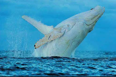 白子個體的白色大翅鯨,圖片來源: Journal of Heredity。