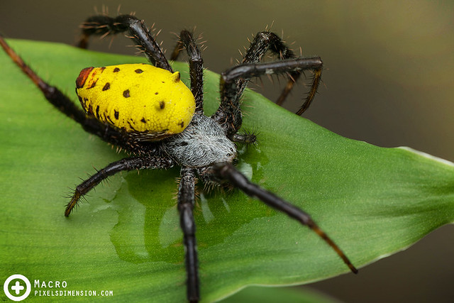 Yellow Tent Spider (Cyrtophora cylindroides ♀) drinking