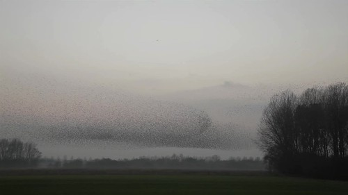 Amazing Dancing million birds in the sky.