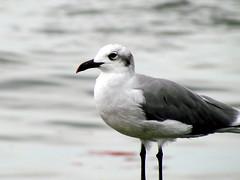 Sea Gull Harkers Island NC 3758