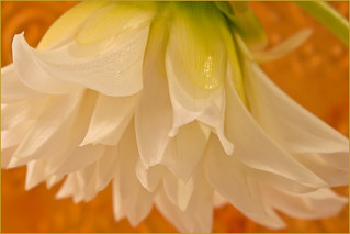 White Dahlia Petals Macro