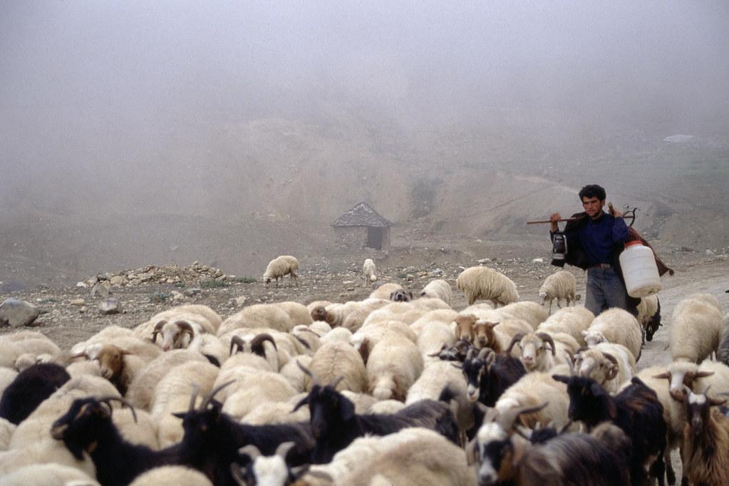 Road trip en Iran - Berger et son troupeau