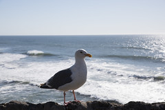 Seagull, Ocean Beach, San Francisco
