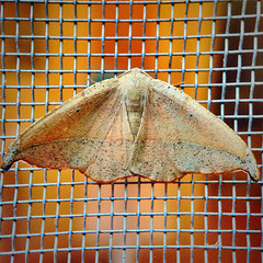Autumnal Moth