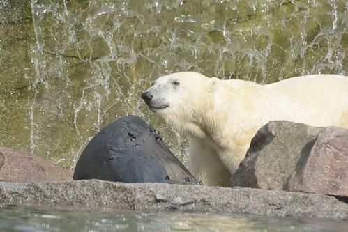 Eisbär Vicks im im Parc zoologique et botanique de Mulhouse
