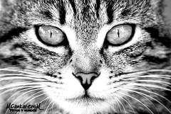 Ojos de gata B/N