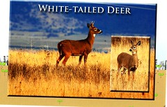 USA-wHITE TAILED dEER