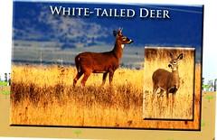 USA-wHITE TAILED dEER