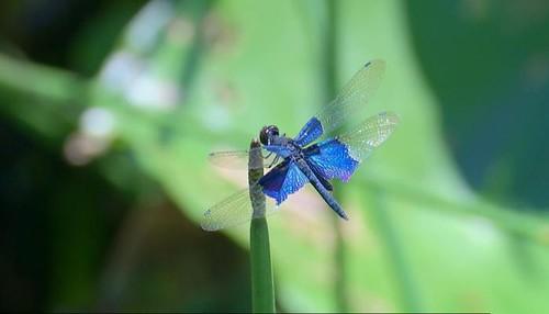 氣候異常使南台灣一群蜻蜓向北擴散
