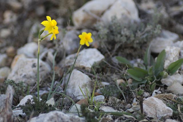 Narcissus assoanus - narcisse d'Asso 15449228440_7d12ced97c_z