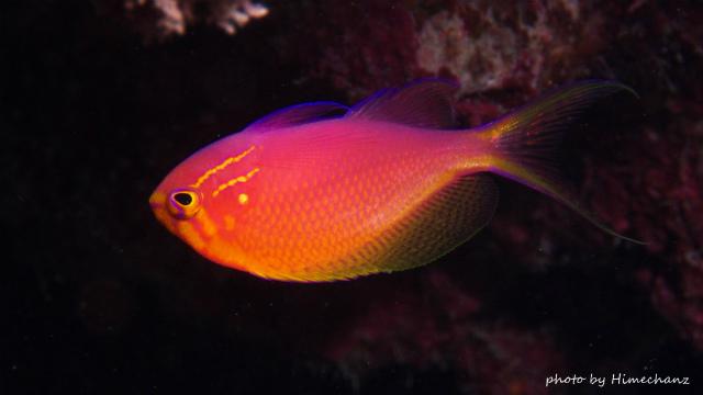 こちらはじっとしてくれてたハナゴンベ幼魚
