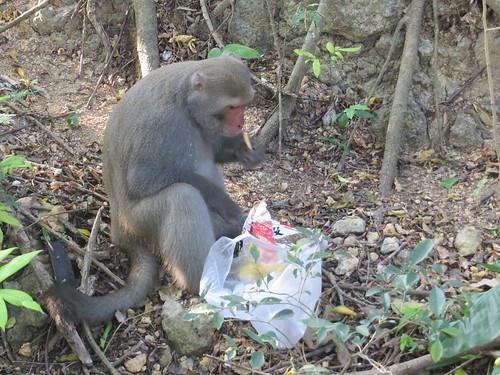 台灣獼猴吃香喝辣其實是學習而來的,圖為壽山上的台灣彌猴吃著蝦味先。(攝影:陳綺鄉)