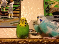 Our pet budgies Vickey and Joey