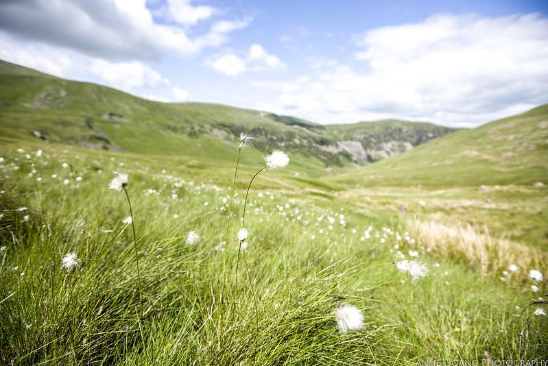 Cotton plant in Lake District