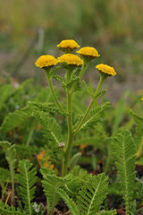 Seaside Tansy, New River ACEC