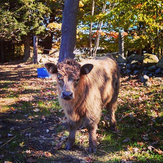 #MilesSmithFarm #FarmDay #Highlander #babyanimals #cow #farmanimals #fall #foliage #leaves #newhampshire