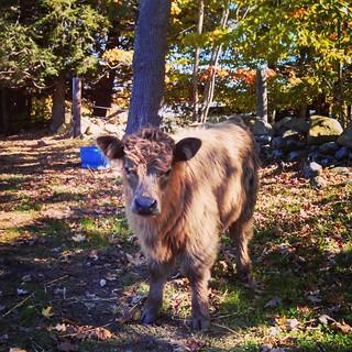 #MilesSmithFarm #FarmDay #Highlander #babyanimals #cow #farmanimals #fall #foliage #leaves #newhampshire