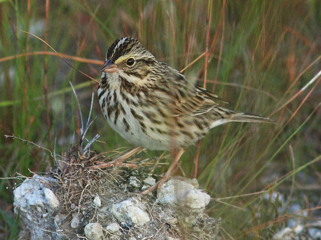 Savannah Sparrow 2-20141104