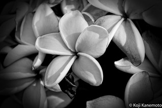 Plumeria in B&W - EXPLORED 10/14/2015