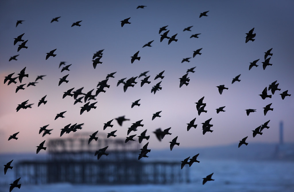 Starling Murmuration and West Pier
