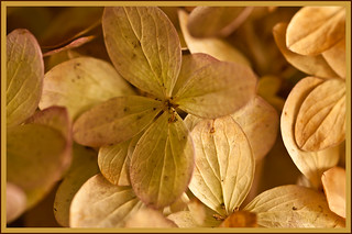 Macro Of Dried Hydrangea Blossoms