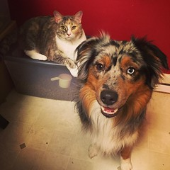 How you know it's dinner time around here. #miniaussie #aussielove #americanshepherd #catsanddogs