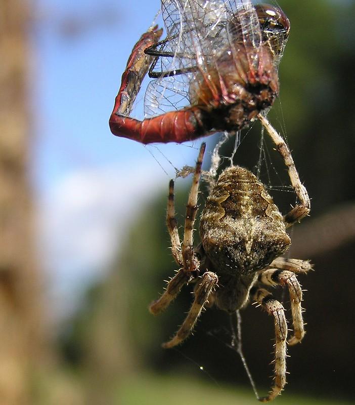 Araneus angulatus ? 15568394901_7a09d566fb_c