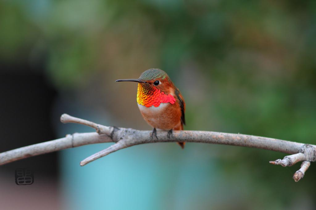 Allen's-Hummingbird-111014