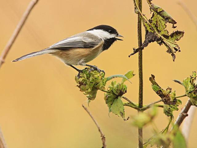 Black-capped Chickadee2 06-20141021