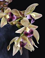 Cymbidium devonianum 'Sturt'