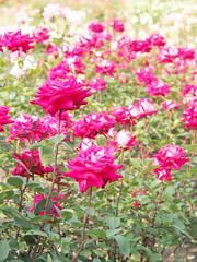 Rose, Love, バラ, ラヴ,
