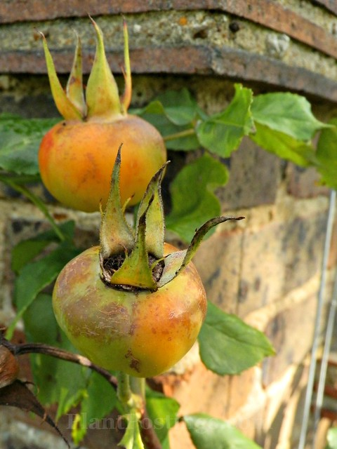 Rosa 'Pauls Lemon Pillar'