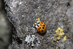 Harlequin Ladybird on Lichen