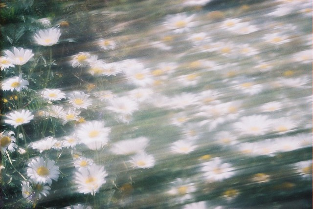 Mothers Daisies