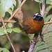 Oreothraupis arremonops - Tanager Finch - Cerquero Tangarino - Gorrión Tangarino 06 by jjarango