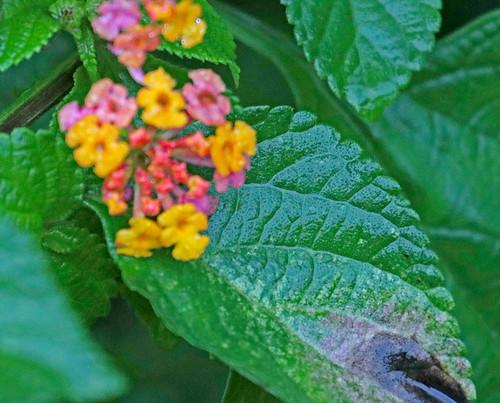 170301 2017 ecuador lantana verbenaceae vilcabamba