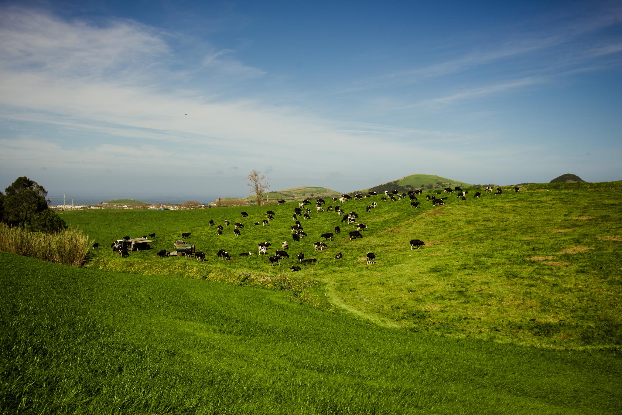 Azori tehenek mindenütt