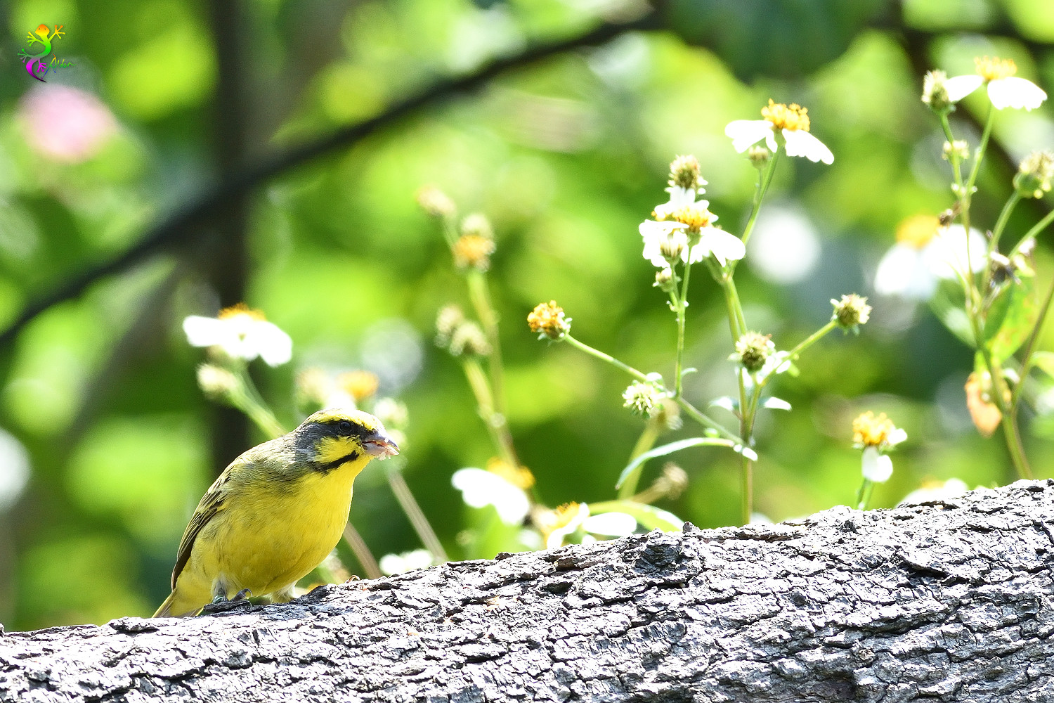 Yellow-fronted_Canary_8317