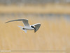 Gull-billed Tern (Gelochelidon nilotica) by gilgit2