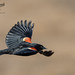 Red WInged Black Bird 3_30 by krisinct- Thanks for 15 Million views!