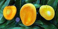 Mango  #377: INDIA'S 3 PREMIER MANGOES