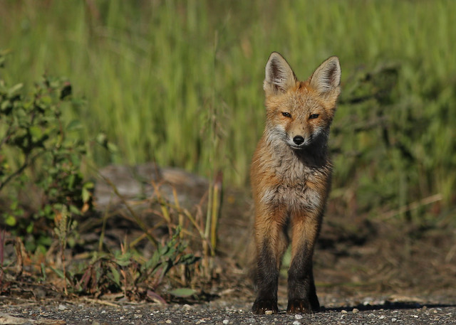Red Fox pup... 6, Canon EOS 5D MARK III, EF400mm f/5.6L USM