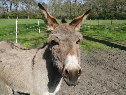 Friendly curious donkey