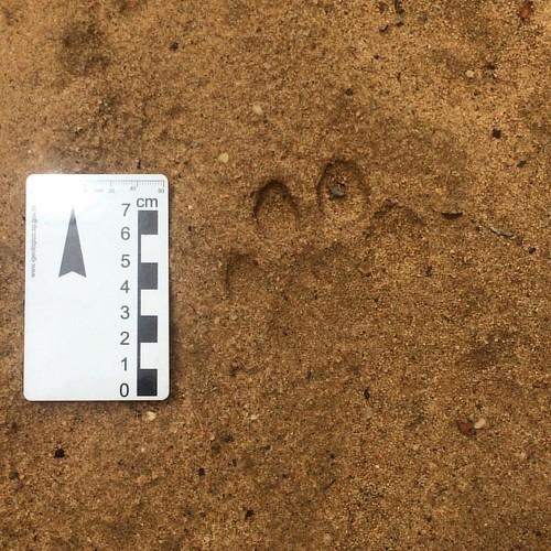 Acho que vi um gatinho... pelo menos a pegada. #geo #campo #onca #rasodacatarina #sertao