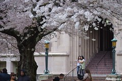 Sakura blossoms at the UW 2017